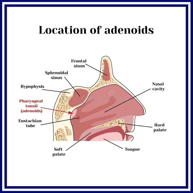 增殖腺的地点 鼻咽的结构 向量例证