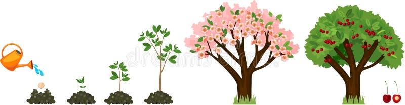 增长到从种子的植物到樱桃树 向量例证
