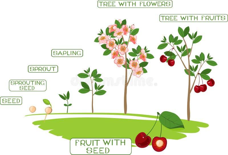 增长到从种子的植物到樱桃树 库存例证