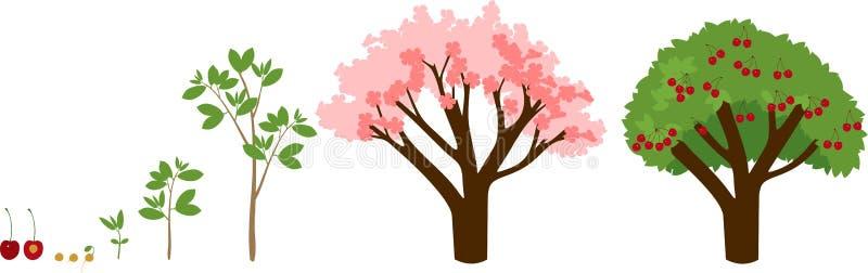 增长到从种子的植物到樱桃树 皇族释放例证