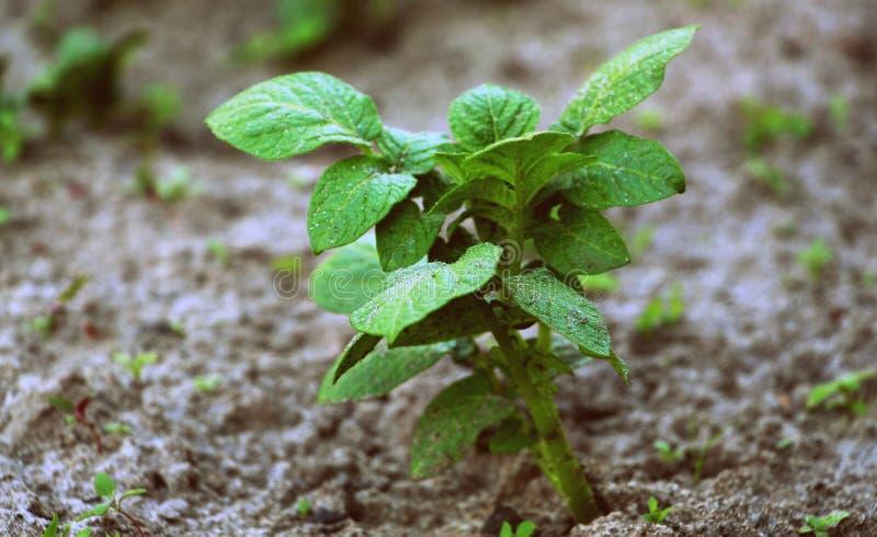 增长的土豆 绿色土豆 新鲜的嫩土豆土豆在庭院里 发芽的种子 免版税库存照片