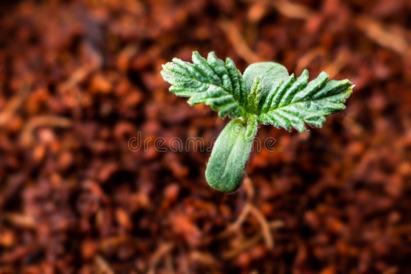 增长的大麻大麻植物年轻顶视图 图库摄影