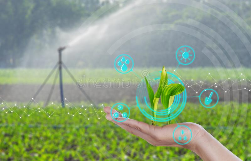 增长的年轻玉米幼木在手边与现代农业数字技术概念 免版税库存照片
