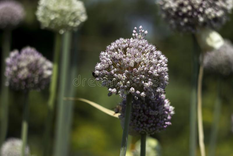 增长的庭院韭葱,菜绽放,花 r 新鲜,有机蔬菜 免版税库存图片