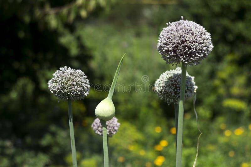 增长的庭院韭葱,菜绽放,花 r 新鲜,有机蔬菜 免版税库存照片