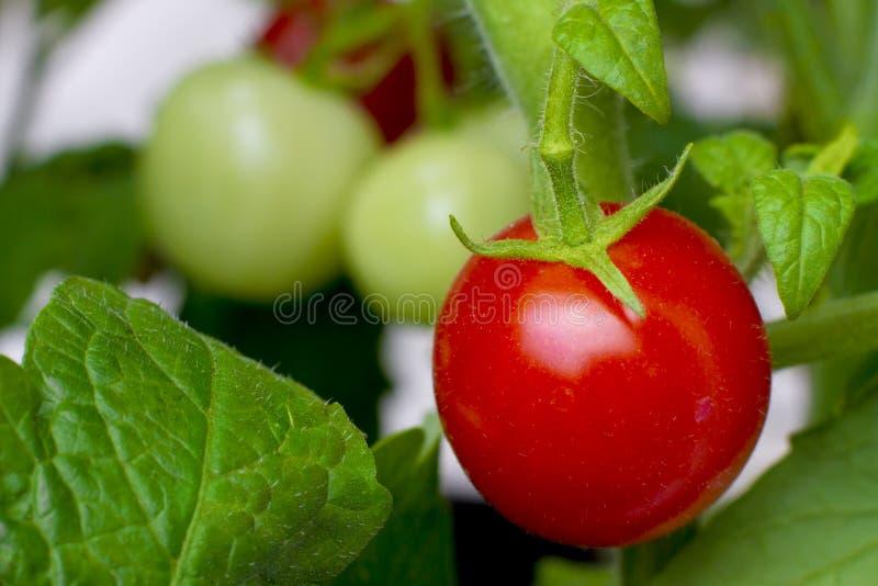 增长的有机红色成熟蕃茄藤 免版税库存图片