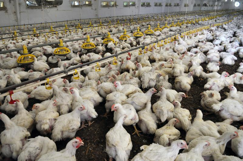 增长的烤小鸡的农场 图库摄影