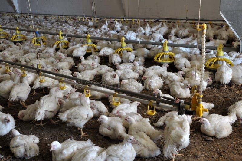 增长的烤小鸡的农场 免版税库存图片