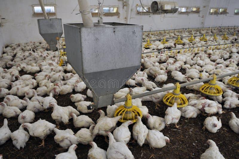 增长的烤小鸡的农场 库存图片