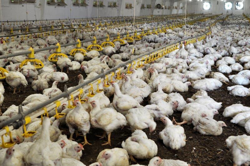 增长的烤小鸡的农场 免版税库存照片