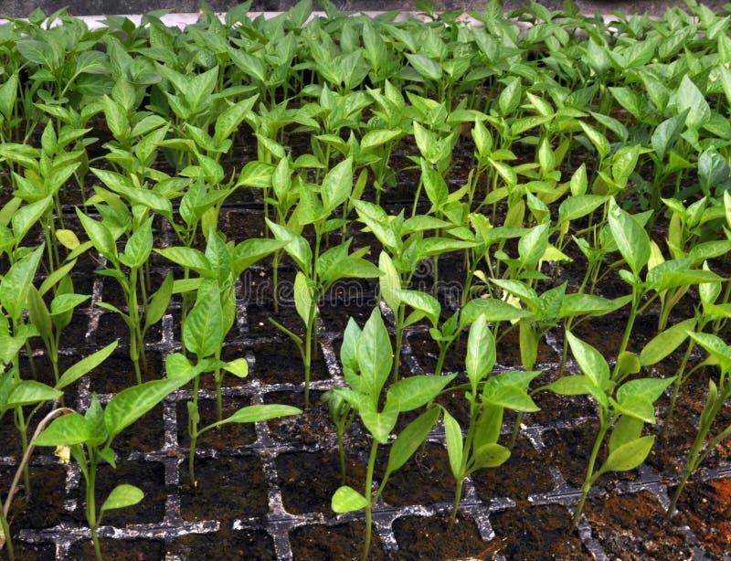 增长的甜椒幼木自温室 免版税库存图片