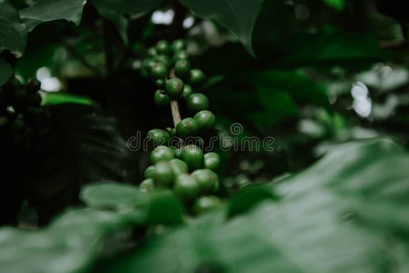 增长的绿色葡萄在森林里 图库摄影