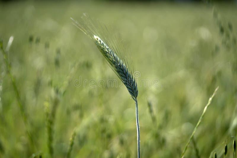 增长的绿色麦田细节 免版税库存图片