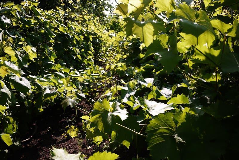 增长的葡萄的剧情 阳光照亮叶子 r 免版税图库摄影
