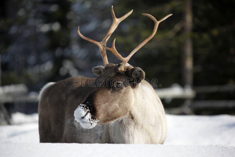 驯鹿/驯鹿属tarandus在冬天 免版税图库摄影