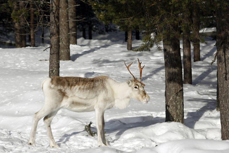 驯鹿/驯鹿属tarandus在冬天森林里 免版税库存照片