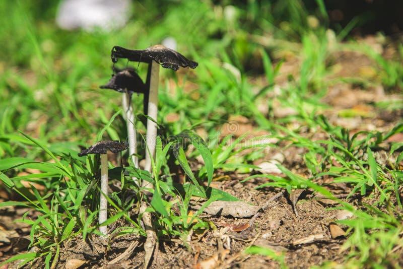 墨似的盖帽蘑菇 库存图片