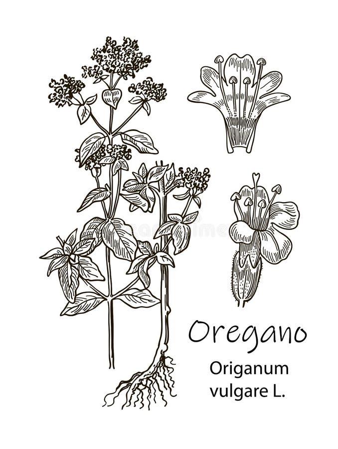 墨水牛至草本detalied例证 手拉的植物的剪影样式 有益于使用在包装-茶 库存例证