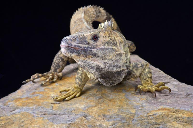 墨西哥人多刺被盯梢的鬣鳞蜥(梳状的Ctenosaura) 库存照片