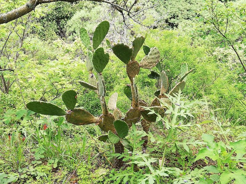 墨西哥仙人掌植物在森林里 免版税库存图片