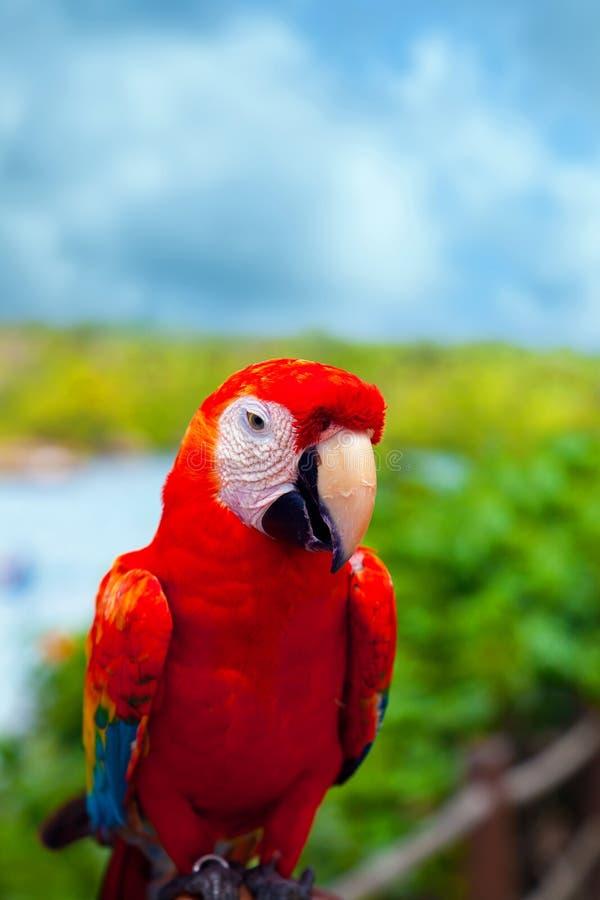 墨西哥加勒比鹦鹉 免版税库存图片