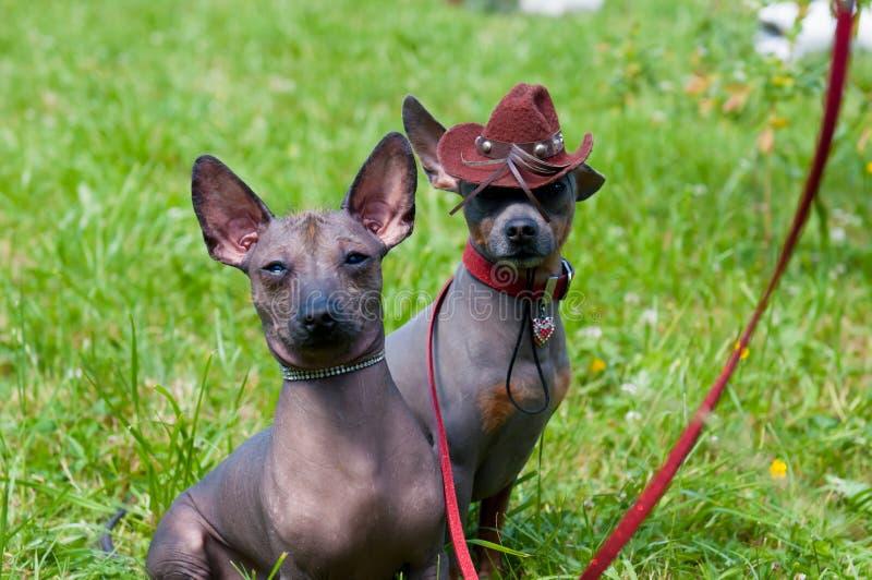 墨西哥无毛的狗 免版税库存图片