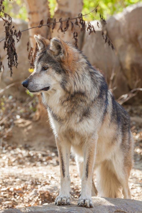 墨西哥灰狼头 免版税图库摄影