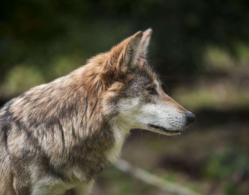 墨西哥狼 库存图片
