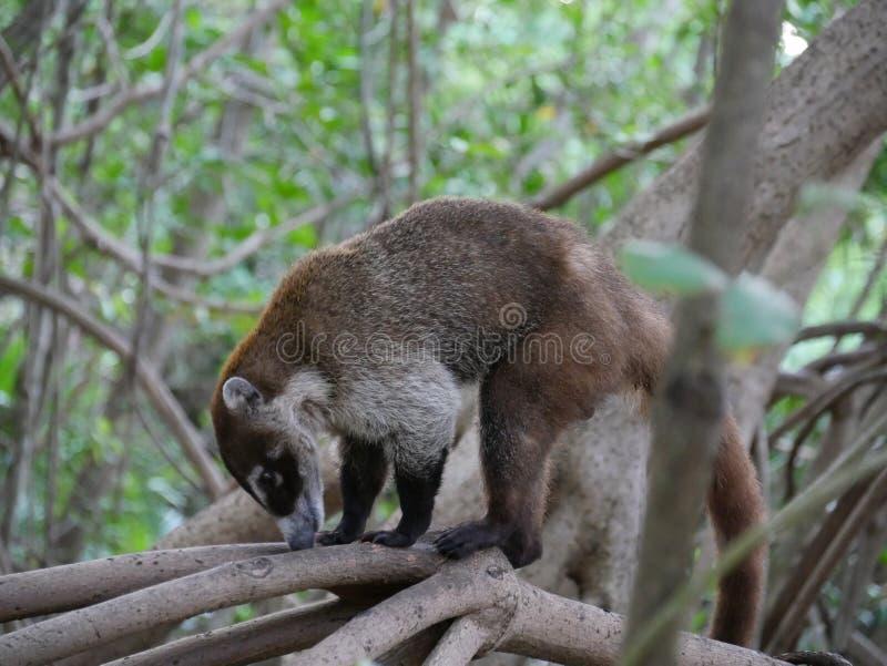 墨西哥的浣熊美洲红树的 库存图片