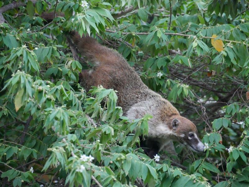 墨西哥的浣熊美洲红树的 免版税库存照片
