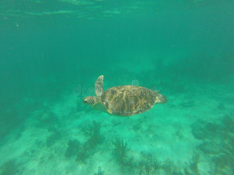 墨西哥的绿海龟 图库摄影