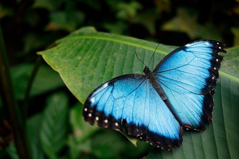 从墨西哥的蓝色蝴蝶 库存图片