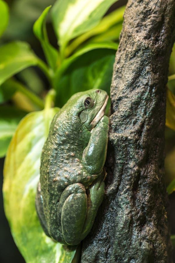 墨西哥矮胖的雨蛙 免版税图库摄影
