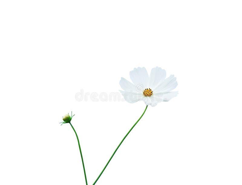 墨西哥翠菊花或白色波斯菊瓣有黄色花粉在背景隔绝的样式和绿色词根的与裁减路线, 免版税库存照片