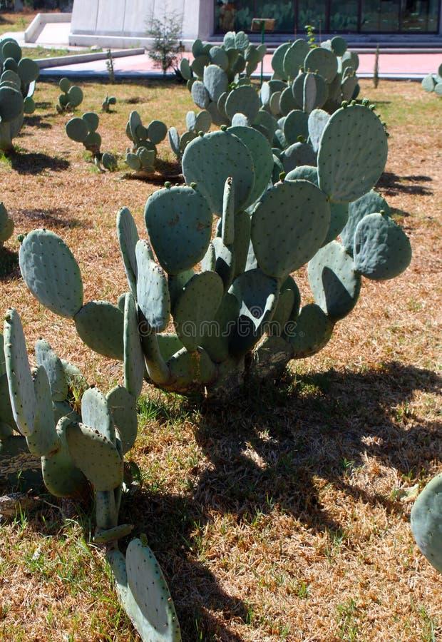 墨西哥仙人掌植物 库存图片