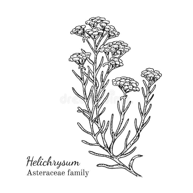 墨水蜡菊属植物手拉的剪影 库存例证