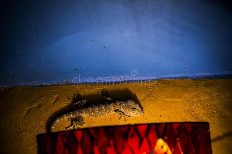 壁虎攀登墙壁的Tokay在巴厘岛& x28的晚上; Gekko gecko& x29; 库存照片