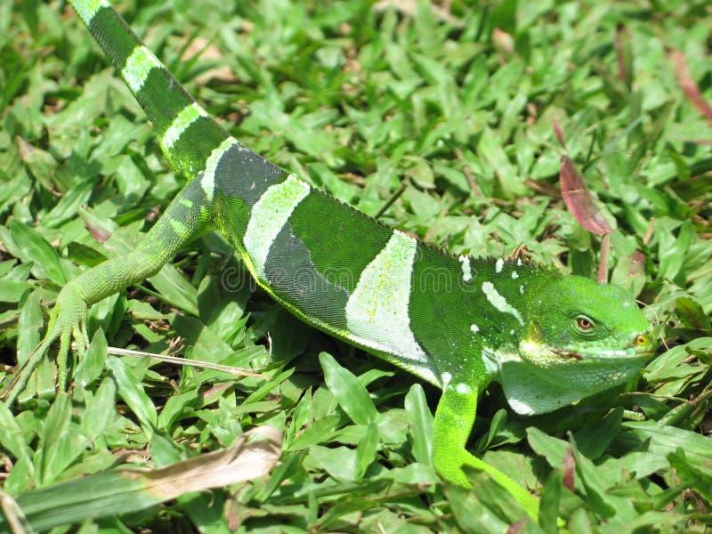 壁虎绿蜥蜴 免版税库存图片