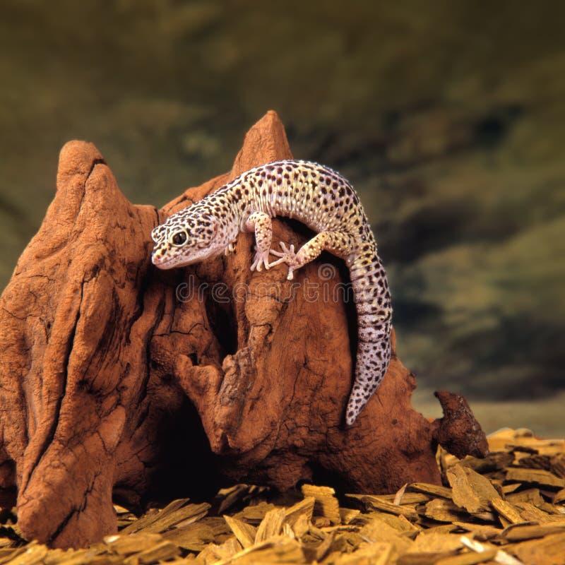 壁虎蜥蜴 免版税库存图片