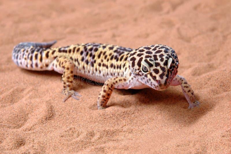 壁虎豹子沙子 库存图片