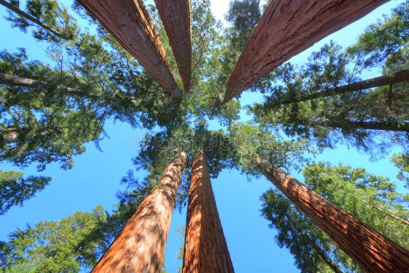 壮观的巨型美国加州红杉树,红杉国家公园,加利福尼亚 免版税库存照片