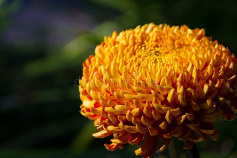 """壮观的橙色和红色""""George Couchmon†菊花 免版税库存图片"""