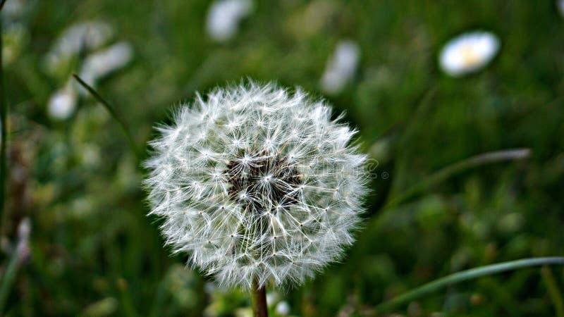 壮观的白色蒲公英种子头 库存图片