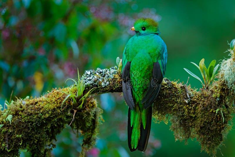 壮观的神圣的绿色和红色鸟 灿烂的格查尔细节画象  灿烂的格查尔, Pharomachrus mocinno,从Sav 免版税库存图片