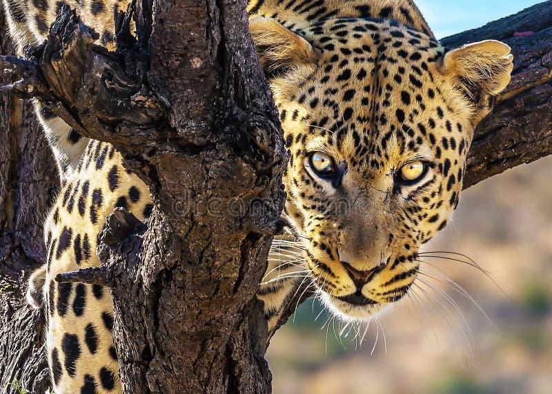 壮观的豹子爬一棵大树 免版税库存图片