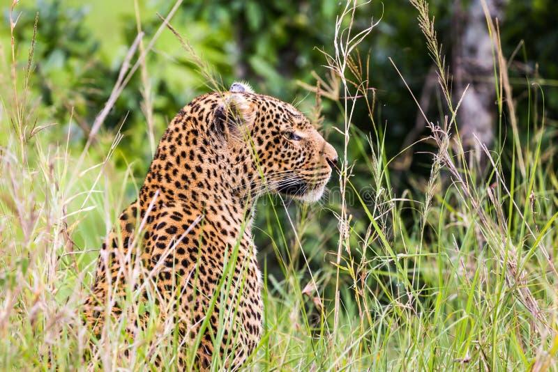 壮观的豹子 库存图片