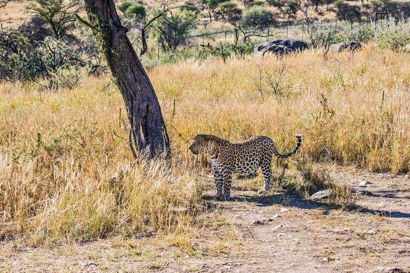 壮观的豹子 免版税库存图片