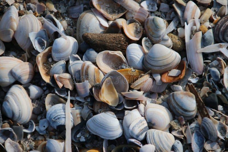 壳和剃须刀在海滩沿北海的岸卡特韦克的,荷兰 免版税图库摄影
