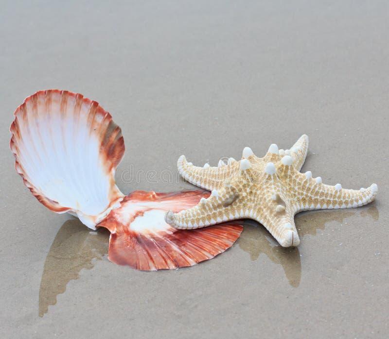 壳海星 图库摄影