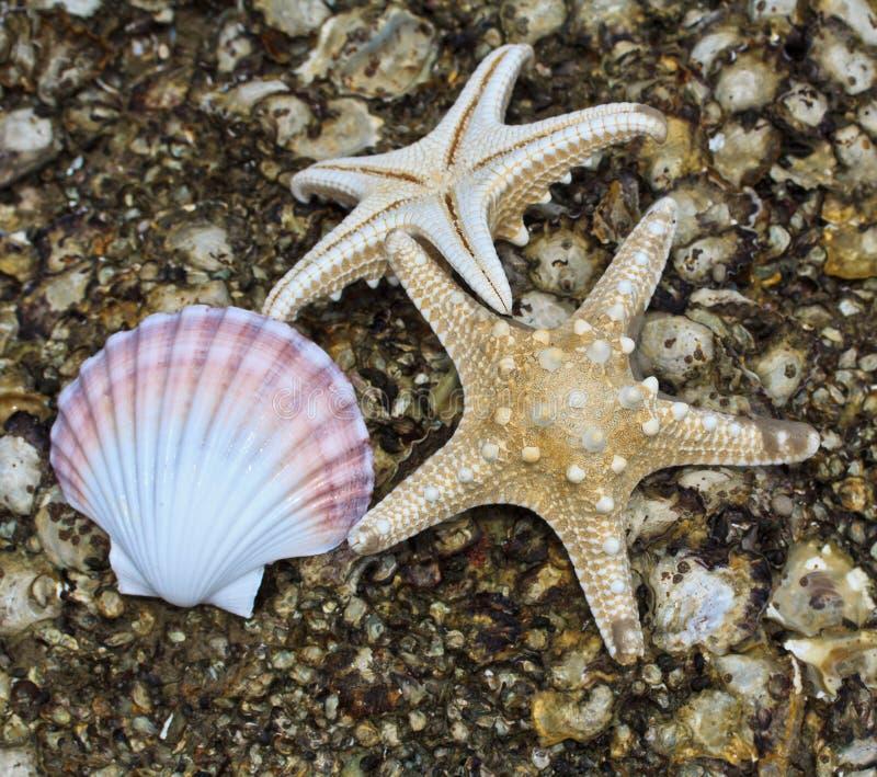 壳海星 库存图片